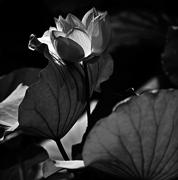 女人后背唯美的一幅黑白莲花纹身图片图片