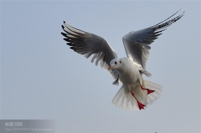在高尔基的《海燕》中,海鸥在暴风雨中呻吟着.其实,海鸥很可爱.