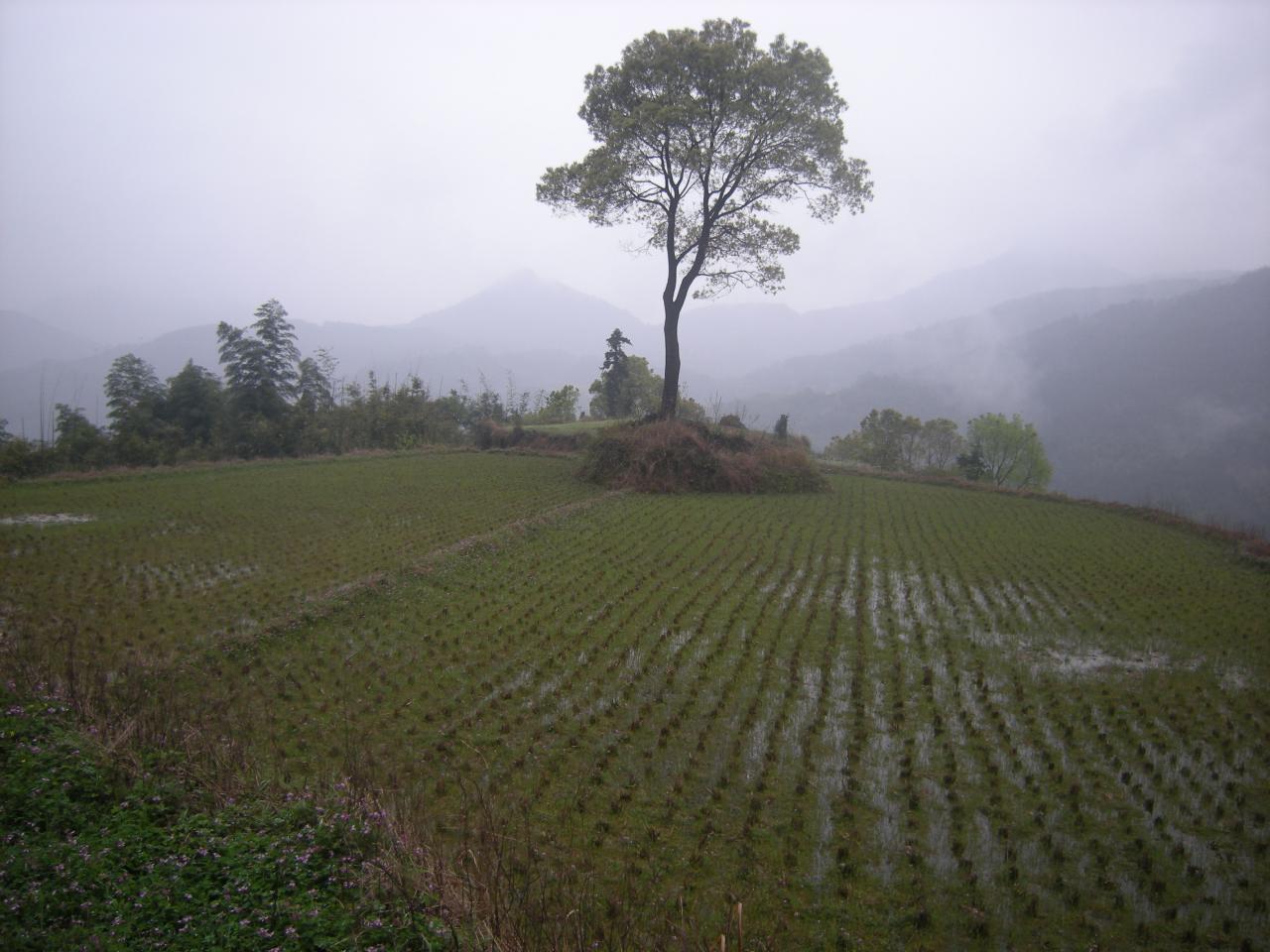 上岭看见美丽一畈畈梯田,听到山水哗哗声响,绿绿的水竹林里新鲜空气图片