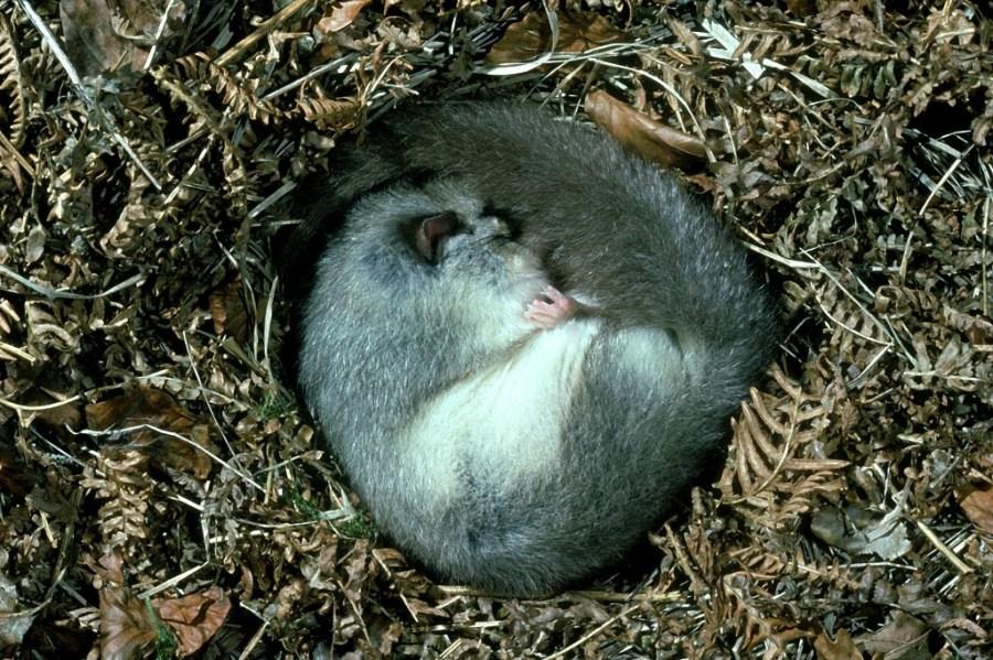 难得一见的动物冬眠